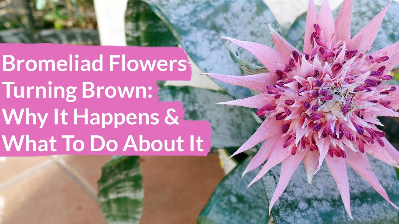 Bromeliad Flowers Turning Brown How To Prune Them Joy Us Garden