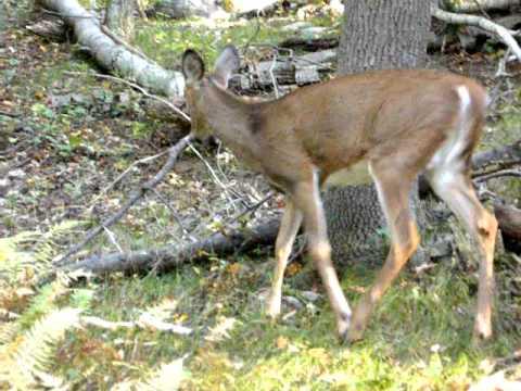 Deer in the Blue Hills Reservation