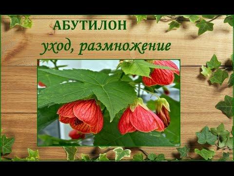 Абутилон -  уход и размножение