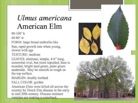 Ulmus americana