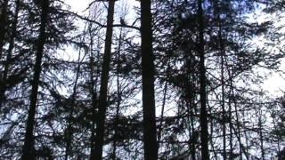 Рябушок. Видео охота на рябчика с манком 18мар16г