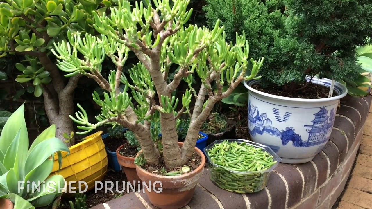 Succulents How To Growing Cuttings Pruning Bonsai Jade Crassula Youtube