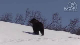 Kamchatka bear spring 2016