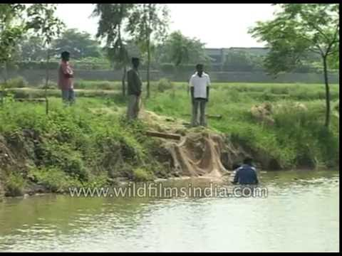 Fish farming or Pond Pisciculture in Haryana, India