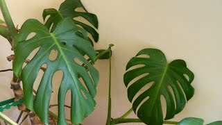 Repotting a 32 Year Old Monster - Monstera deliciosa (cheese plant)