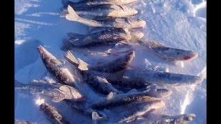 Зимняя рыбалка. Выловили сетями более 15 тонн рыбы.