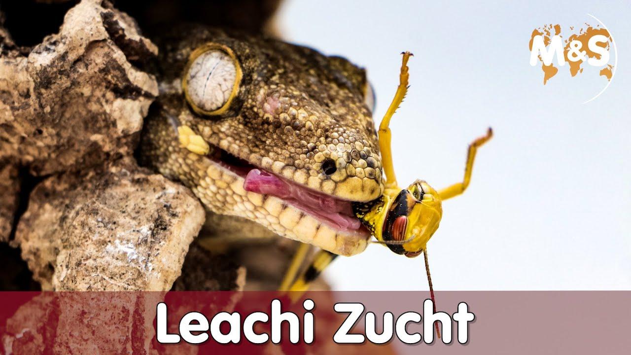Riesengeckos: So klappt das Tête-à-Tête!!   Rhacodactylus leachianus   Reptil TV