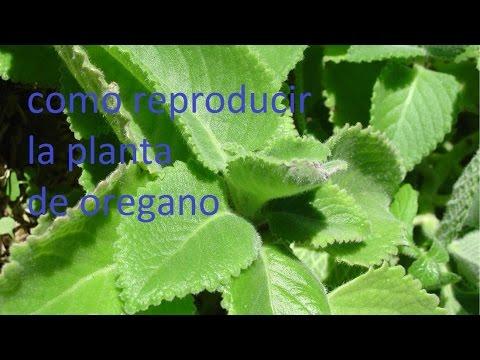 como reproducir la planta de oregano atraves de un esqueje o un