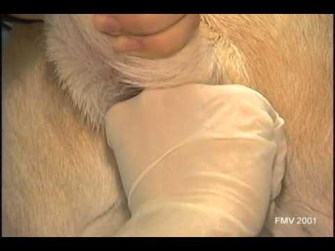 Les sacs anaux ou parfois nomms glandes anales