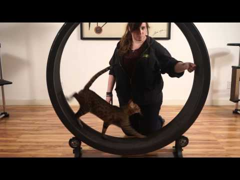 Training Your Cat to the Exercise Wheel
