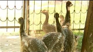 Молоді страуси ему з еколого-натуралістичного центру учнівської молоді звикають жити самостійно