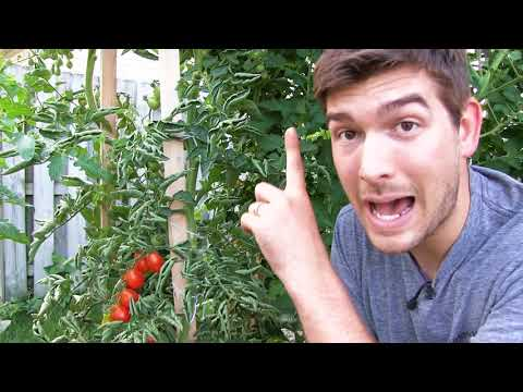 our-6-step-secret-to-growing-10-foot-tall-tomatoes-organically