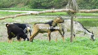 Funny Baby cute Goat find To successfully   Funny Baby Goat Compilation 2018