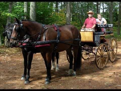 Carriage horses pair explores backwoods New Hampshire