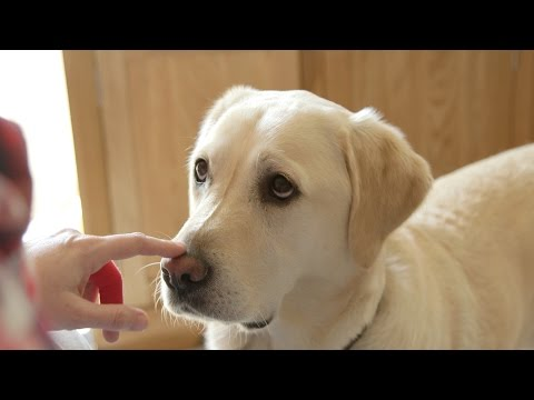 How dogs can sniff out diabetes