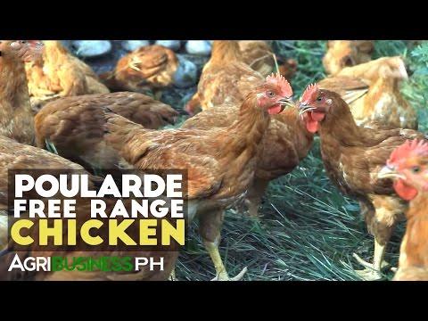 Poularde Free Range Chicken : New Technology | Agribusiness