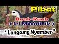 Suara Pikat Ruak Ruak Srimbombok Langsung Nyambar Paling Ampuh  Mp3 - Mp4 Download