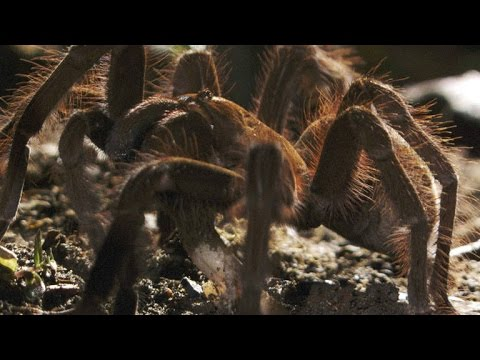 World's Biggest Spider Gobbles Down an Unsuspecting Lizard