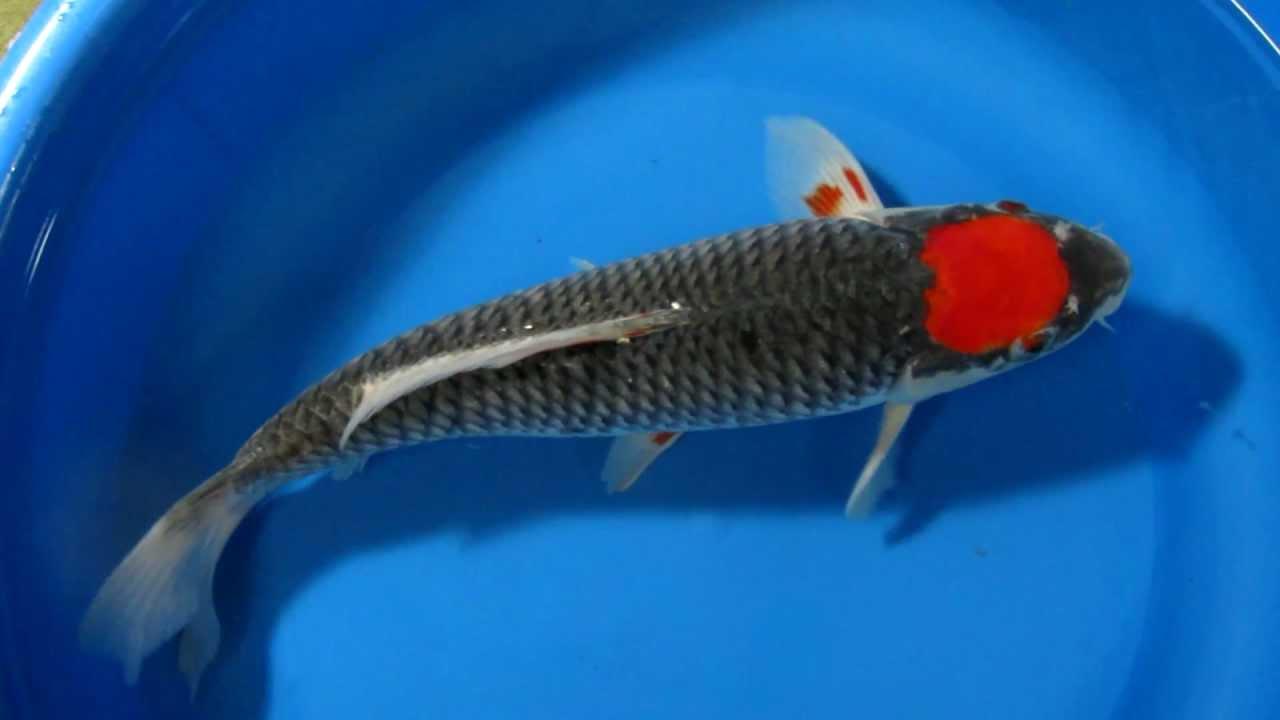 14 15 tancho goshiki japanese koi fish youtube for Tancho koi fish