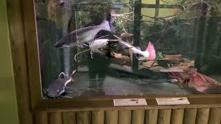 Краснохвостые сомы Рыба пангасиус