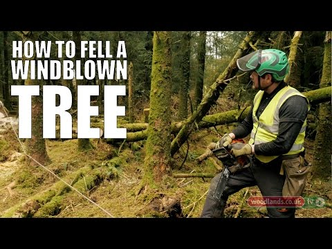 how to cut down a leaning tree with a chainsaw