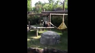 Panda from memphis zoo Thumbnail