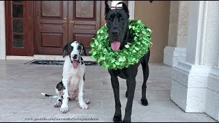 Great Dane and Puppy Pose For Their First Christmas Photo