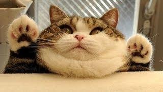 Bạn không thể ngừng cười với những con Mèo Béo này
