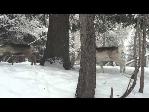 Video A casa delle renne