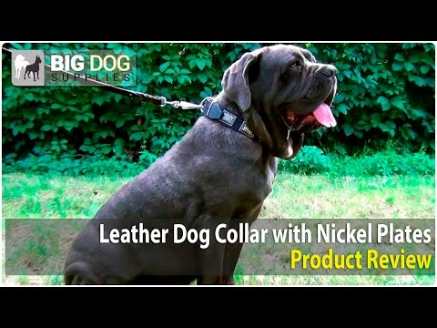 Neapolitan Mastiff, Rottweiler and Black Russian Terrier Wearing Designer Dog Collar with Plates