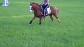 Sec. A Welsh Pony Stallion Jumping During Loud Train Horn  Blowing Craziness
