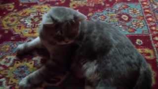 Вычесывание шерсти кота фурминатором / Combing wool cat Furminators