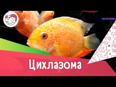 Аквариумная рыбка цихлазома северум. Особенности. Уход.