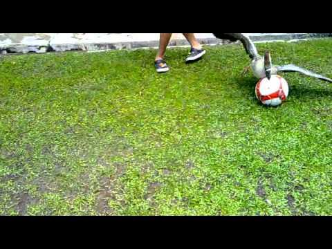 Goose play football