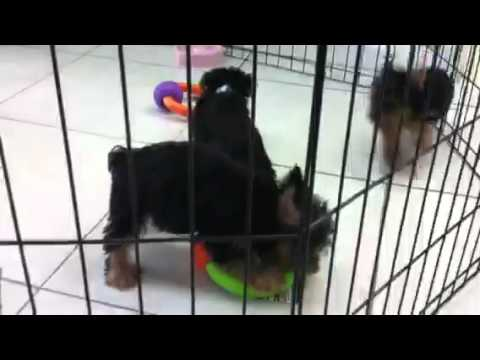 Yorkie Puppies For Sale In Miami Fl Tel 305 262 7310 Youtube