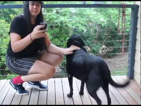 Testin' my dog's intelligence  |  KELPIE X LABRADOR