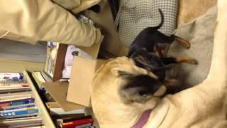 Mastiff And Min Pin Puppy 1
