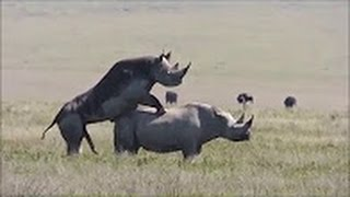 sex and rhino