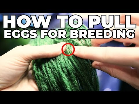 How To Pull Eggs Out Of A Spawning Mop