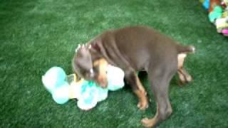 Doberman Puppy Playtime At Itzaclip! Doggy Day Spa,