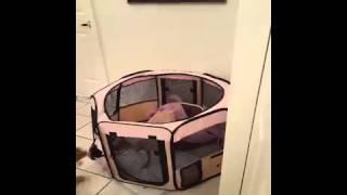 Gatito atrapado con las manos en la masa ayudando a cachorra a escapar de la jaula