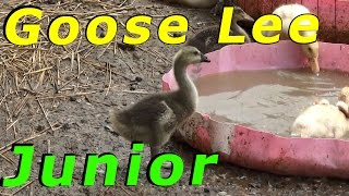 The Geese Adopt The Ducklings #58 Hatching Duck & Goose Eggs