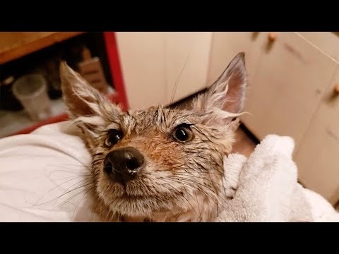 The Woody Show - Guy with Thick Chicago Accent Rescues Coyote Puppy