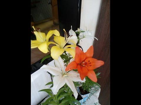 Вопрос: Как правильно хранить клубни лилий?