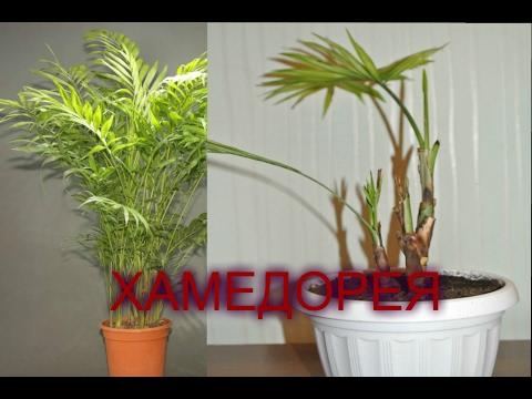 ХАМЕДОРЕЯ Почему пропадает пальма? Пересадка ХАМЕДОРЕИ Chamaedorea elegans