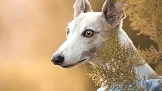 Lebrel Italiano, ¿Cómo es este tipo de perros?