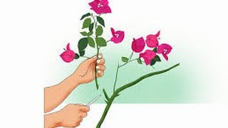 How to grow bougainvillea from cutting || how to grow bougainvillea || hindi / urdu