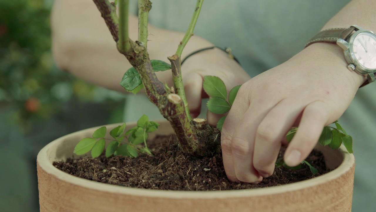 rosen pflegen, schneiden und düngen. so wird's gemacht! - youtube