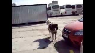 большая собака напала на человека