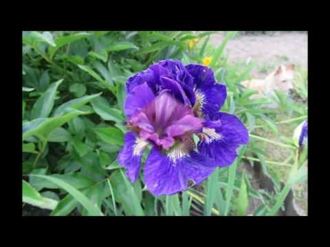 Цветы. Ирис. Ирисы сибирские. Условия выращивания сибирских ирисов.